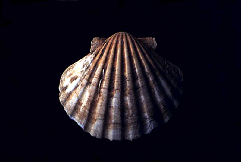 The Scallop Shell